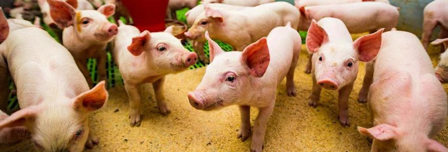 élevages de porcs